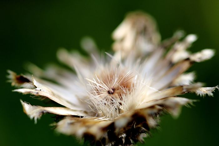 Autumn Macro Macro Photography Flower Flower Head Close-up Plant Dandelion Seed Wildflower