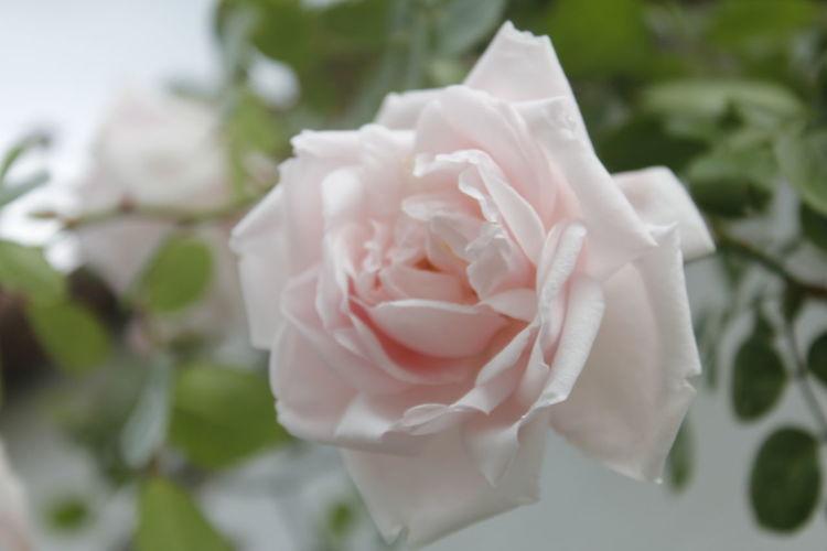 Rose... Rosé