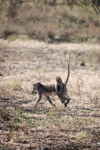 Adult monkey in the baluran national park Animal Wildlife Animals In The Wild Day Field Full Length Land Mammal Nature No People One Animal Outdoors Plant Selective Focus Vertebrate Young Animal