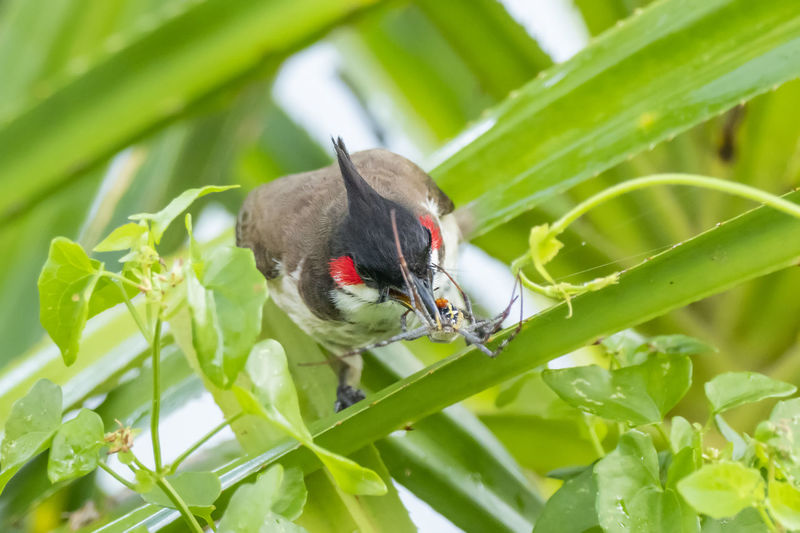 Red-whiskered Bulbul (Pycnonotus jocosus) with Spider Animal Themes Animal Animal Wildlife One Animal Animals In The Wild Plant Plant Part Leaf Vertebrate Nature Close-up No People Day Bird Selective Focus Outdoors Green Color Invertebrate Insect Beauty In Nature Growth Spider
