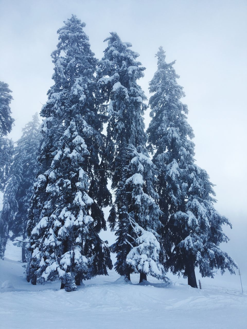 PINE TREE IN SNOW COVERED FIELD