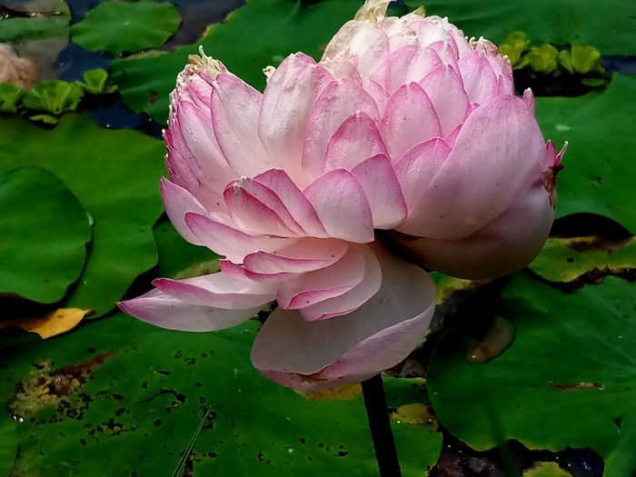 Beauty In Nature Close-up Flower Flower Head Flowering Plant Freshness Lake Leaf Lotus Water Lily Pink Color Plant Plant Part Water Water Lily