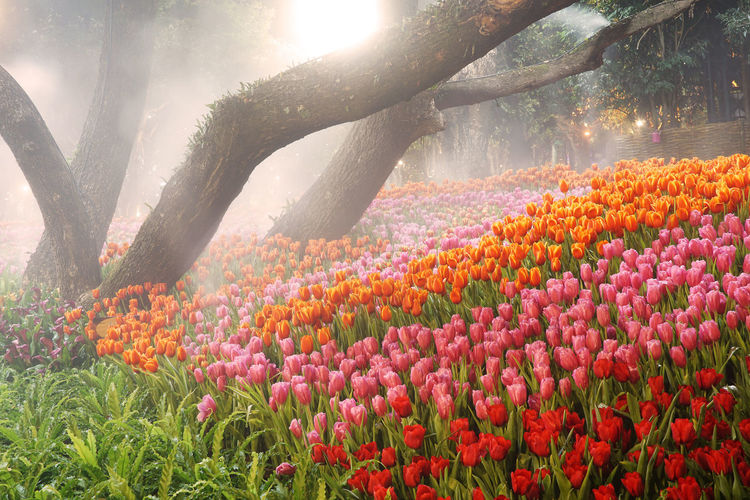 Tulips Blooming In Sunny Day