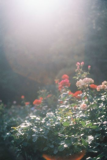 Film 35mm Film Film Photography Analogue Photography EyeEm Best Shots Light And Shadow Flowers Roses Sunny Day