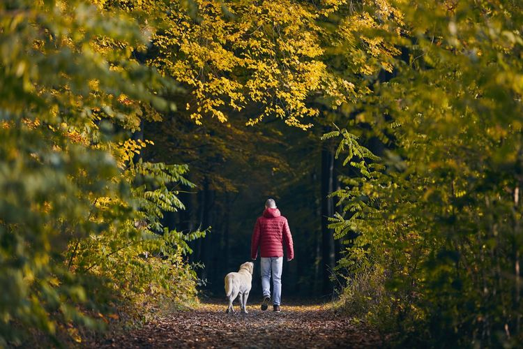 Man with dog in autumn nature. pet owner is walking with his labrador retriever into forest.