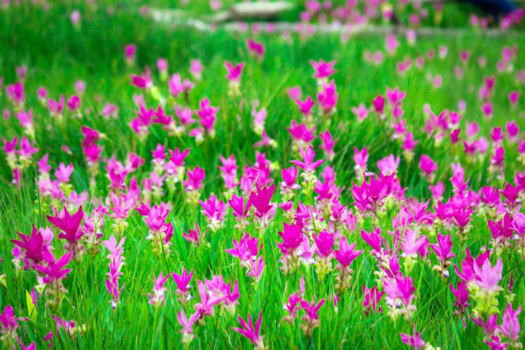 many pink flowers in garden Thai Beauty In Nature Blooming Close-up Day Field Flower Flower Head Flowerbed Fragility Freshness Garden Grass Green Color Growth Nature No People Outdoors Petal Pink Color Pink Flowers Plant Siam Tulip Springtime