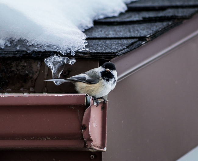 Alertness Animal Themes Backyard Backyard Birder Bird Photography Birds Birds Of EyeEm  Birdwatching Black Capped Chickadee Chickadee Close-up Day Focus On Foreground Looking At Camera No People One Animal Perching Perching Bird Roof Rooftop Showcase March Snow Covered The Week On EyeEm Watching Wildlife The Great Outdoors - 2016 EyeEm Awards