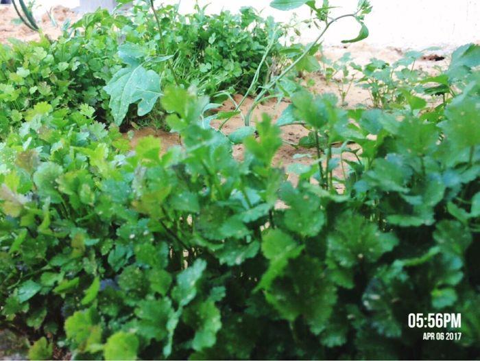 كسبر :) Camera Phone Libya Hi World Taking Photos IPhone 5S Libya Misurata Tripoli ❤ Green Color Photographer Plant