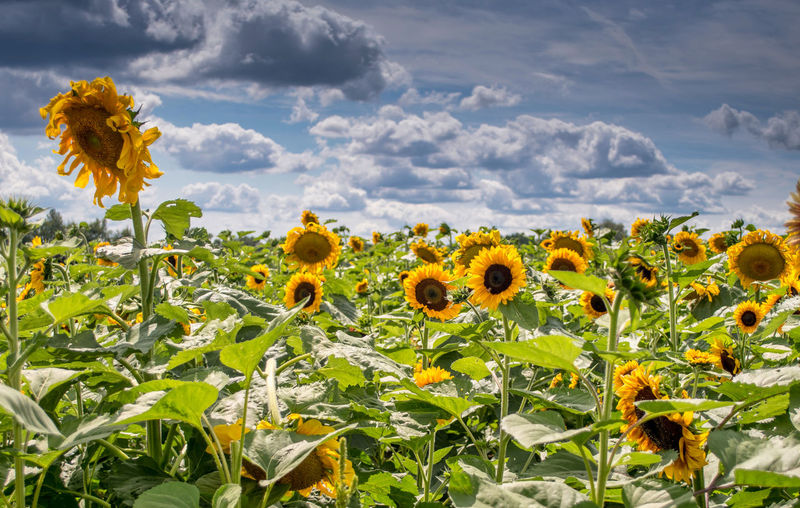Close-up of sunflowers on yellow flowering plant against cloudy sky