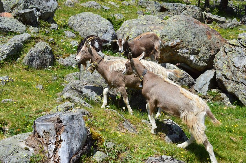 Goat Mammal Animal Animal Themes Group Of Animals Vertebrate Day High Angle View No People Nature Domestic Animals Plant Livestock Domestic Rock Land Sunlight Field Animals In The Wild