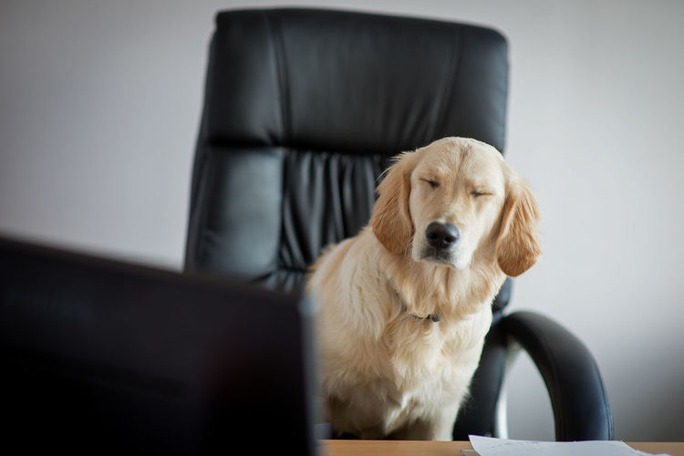 Dog sitting on office chair