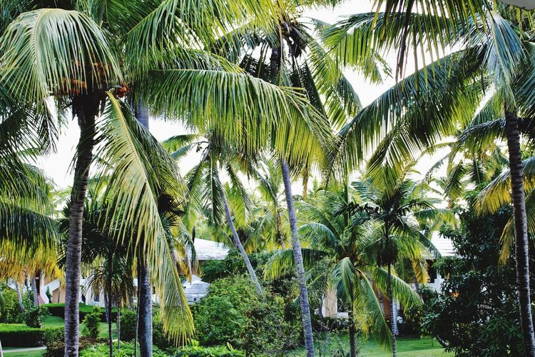 Palm Tree Tree Growth Nature Day Outdoors Tranquility Green Color Beauty In Nature Tree Trunk No People Scenics Leaf Banana Tree Sky