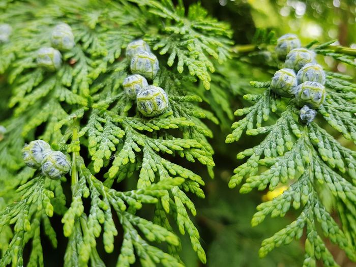 green backgroud Branch Thuja Pine Thuja Tree Green Color Background Green Close Up Close-up Green Color Plant Needle - Plant Part