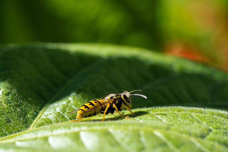 Wespe Animal Themes Beauty In Nature Close-up Green Color Insect One Animal Wasp Wespe