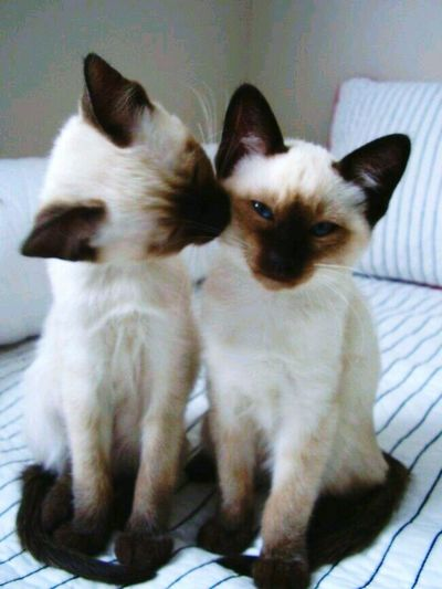 Cats Of EyeEm Siamese Cat Lovely Animals Of Eyeem Kisses Kiss Kiss Pets Domestic Cat Domestic Animals Animal Themes Indoors  Feline Sitting Home Interior Looking At Camera Mammal Portrait No People Togetherness Kitten Day Close-up