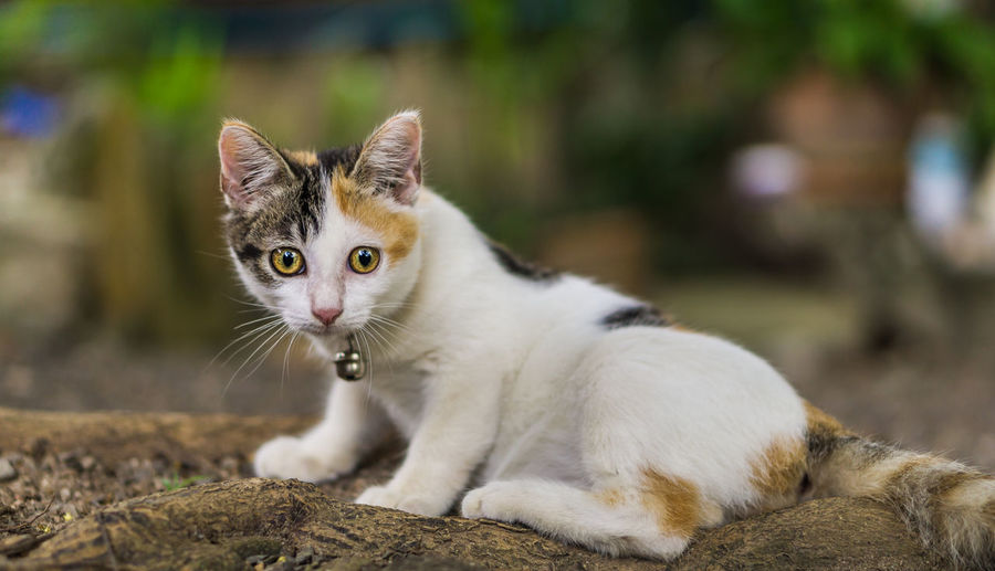 Cute Cat. Colar Cat Cute Cat Cat Three Colors Little Looking Cat Thai Kitten Colar Beautiful Beauty Adorable Site Domestic Cat Pets Animal Feline Portrait Cute Looking At Camera Kitten Mammal Beauty Domestic Animals Animal Hair Sitting Animal Themes Closing No People