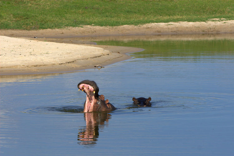 Animal Family Beauty In Nature Day Grass Lake Leisure Activity Lifestyles Mammal Nature Outdoors Rippled Tranquility Water