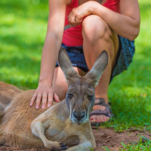 Low Section Of Man Touching Kangaroo On Field
