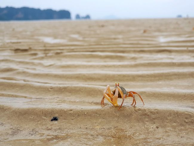 Crab Sea Sea And Sky Seascape Animal Thailand Krabi Thailand Krabi Ghostcrab Crab On The Beach EyeEmNewHere Be. Ready. Crafted Beauty AI Now EyeEm Ready   Shades Of Winter The Great Outdoors - 2018 EyeEm Awards