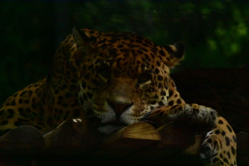 JAGUAR Jaguars Félin  One Animal No People Animal Themes Day Outdoors Zoodebeauval Beauval Zoo Zoo Animals  Animals Savage Portrait Animalportrait