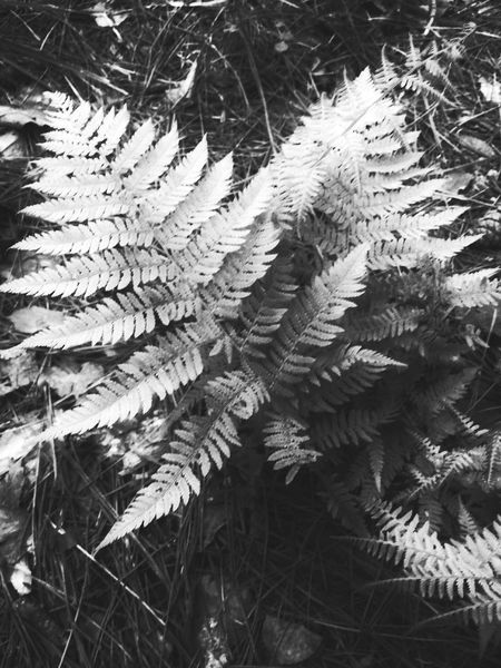 Nature Photography Fern Leaf Nature_collection EyeEm Nature Lover Leaves Minnesota Nature Plants And Flowers No People Plant Photography Forest Photography Black And White Black & White Nature Forest Forest Floor Fern Fern Leaves Plants Naturephotography Black And White Collection  Forestwalk North Woods