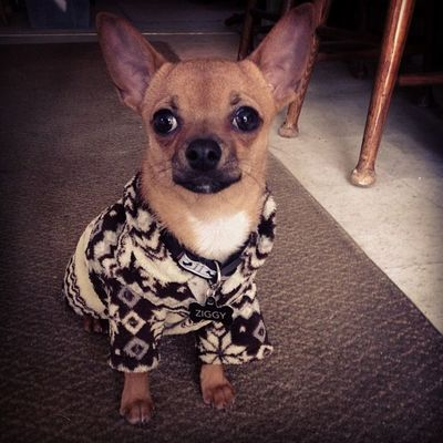 It's freeeezing out! Dailyzigga Chihuahuapopsicle Instadogs