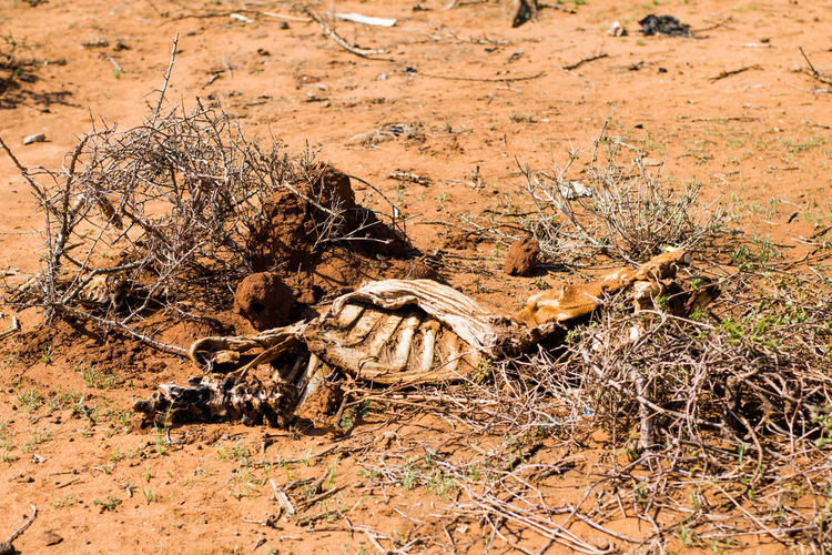 Drought Drought And Floods Global Warming Kenya Skeleton Africa Animal Themes Animals In The Wild Arid Climate Cattle Cattledog Climate Change Climate Change(global Warming) Close-up Cow Day Dead Cattle Desert Fur Herd Animal Nature No People One Animal Outdoors