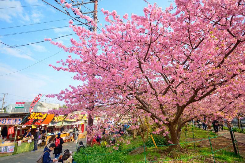 Pink cherry blossom tree against sky