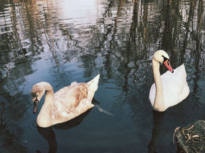 Swans Water Lake Animal Themes Animals In The Wild Bird Swimming Swan Nature Water Bird Day Floating On Water No People Outdoors Swans Animal Animals Birds Bird Photography Winter Wintertime Lakes