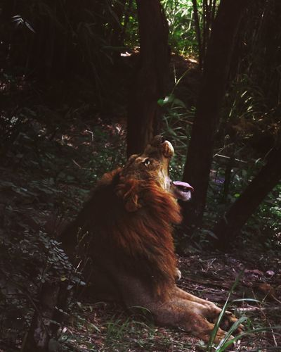 Lion King Of The Jungle King Relaxing Forest Forest Photography Trees Animal Animal Photography Animals In The Wild Wild Wildlife Safari India Southindia Canon Canon 70d Canonphotography VSCO Vscocam Lightroom Adobe Lightroom Adobe