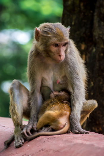Monkey Breastfeeding Infant In Forest