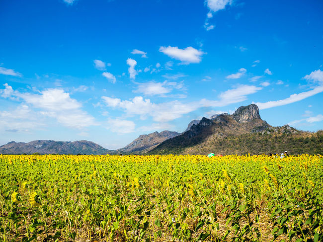 Mountain Landscape Mountain Range Plant Agriculture Flowers Sunflowers Field Clear Blue Sky Oilseed Rape Beauty In Nature Lopburi Thailand