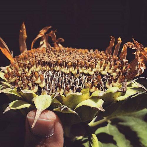 . دیگه کم کم داره آفتابگردان همسایه ثمر میده حالا اگه تونستم یدونه از اینا کش برم یه عکس دسته جمعی با تخمه ها میگیرم براتون . . گل تخمه_آفتابگردان بزن بفرما خوشمزه خام بوداده نه بونداده 😚 Flower Sunflower Seed Helianthus_annuus