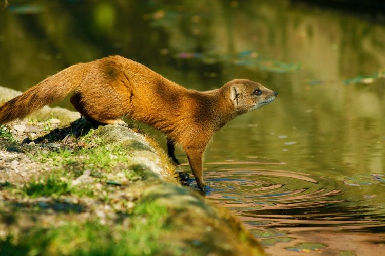 Side View Of Mongoose Near River