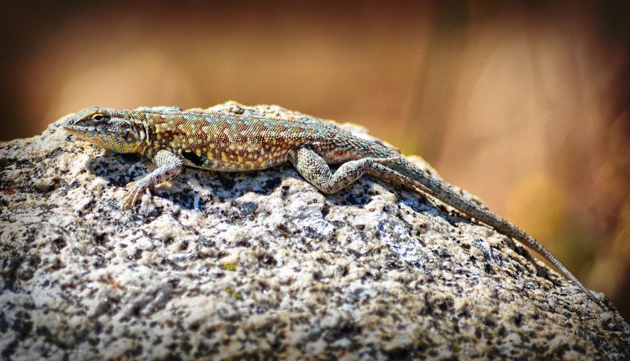 Close-up of mottled lizard