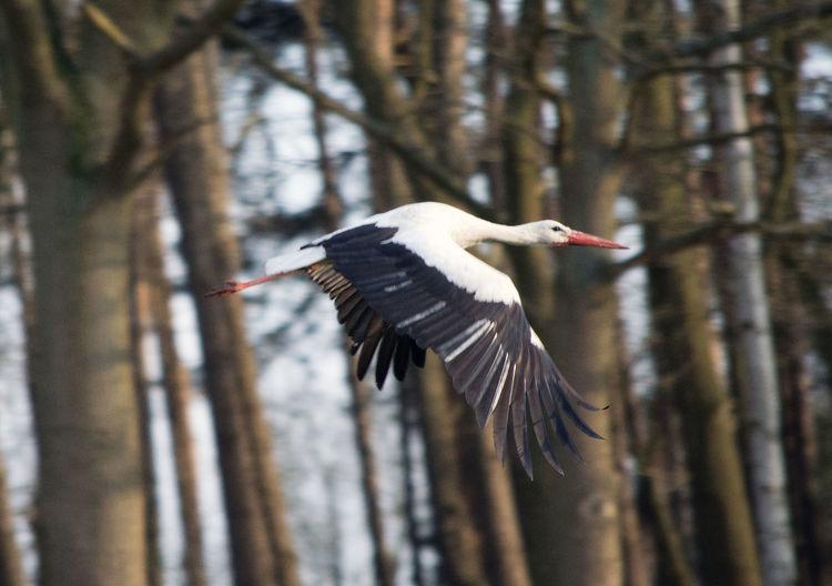 White stork flying against trees in forest
