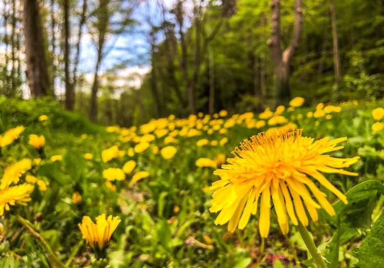 A field of dandelion Dandelion Plant Flower Flowering Plant Yellow Growth Vulnerability  Fragility Beauty In Nature Freshness Flower Head Petal Close-up Nature Field Focus On Foreground Day Green Color No People