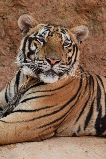 Tiger Against Rock Formation At Zoo