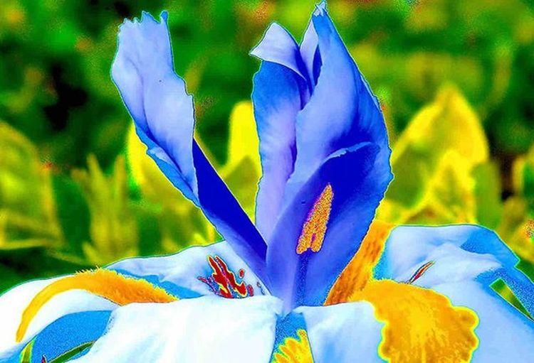 IRIS flower yes, it's in full bloom. I figured that I should take picture slightly different. Not top down 1) Myworld_in_blue 2) Ig_affair_weekly 3) Vms_macro 4) Small_world_upclose 5) 5star_images 6) Edit_mania__ 7) Sn_apr2 8) Mta_macro 9) Pic_groups 0) Pocket_macro 1) _flowersworld_ 2) Pocket_family 3) Igglobalclubmacro 4) Macro_captures 5) Fotofanatics_alltags_ 6) Ponyfony_flowers 7) Editz4fun 8) 9vaga_flowerscolor9 9) Tv_flowers 0) Quintaflower 1) Eliteeditzz 2) Naturehippys 3) Nature_sultans 4) Tv_colors 5) Rainbow_petals 6) ig_azhubs 7) macro_brilliance 8) 9vaga_macro9 9) fotocatchers 0) resourcemag