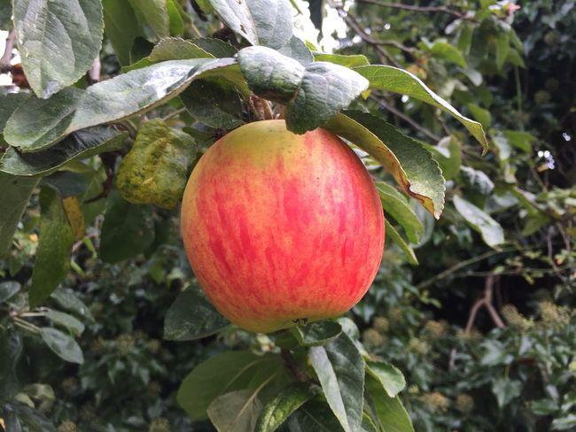 Apple Flowers,Plants & Garden Garden Photography Apple Tree