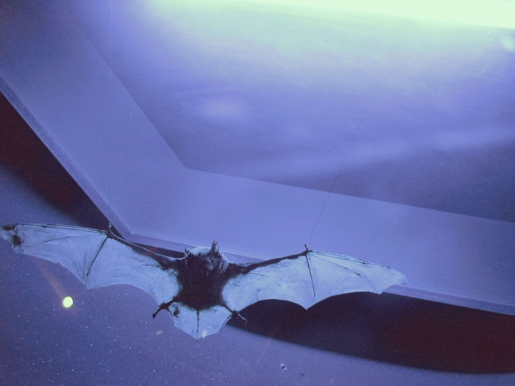 Air Bat Batman Beauty In Nature Beauty In Nature Contrast Darkness And Light Dusk Eye Best Shot Fly Flying Late Latenight Midnight Moon Moonlight Nautre Night Nighttime No People One Animal Scenics Tranquility Weightless Zoology