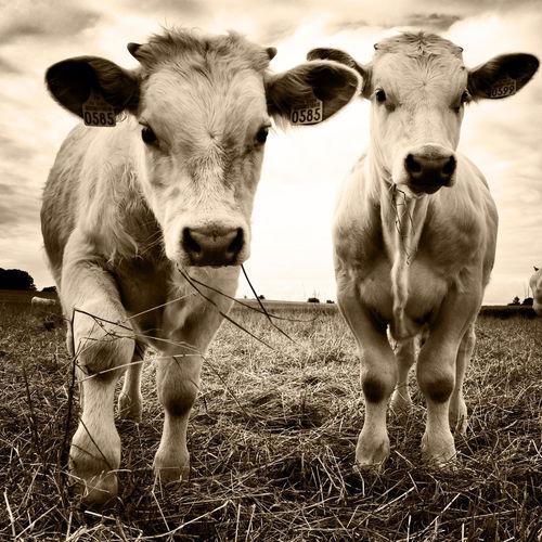 Portrait of calves standing on field against sky