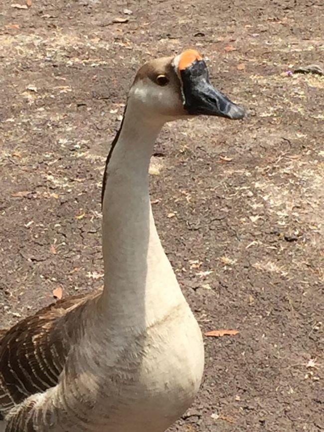 Ganso Bird Animal Themes Animals In The Wild Animal Wildlife Goose One Animal Day Nature No People Water Bird Greylag Goose Outdoors Close-up Swan Black Swan