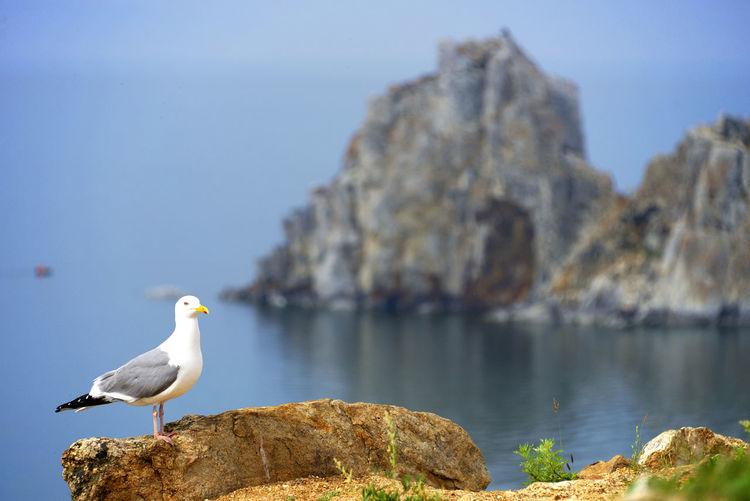 Seagull against cliff on sea
