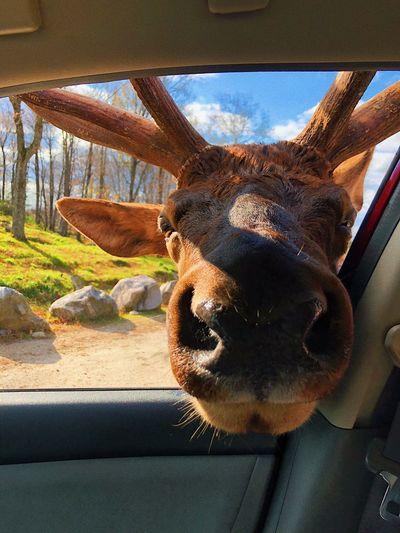 Portrait of animal looking through car