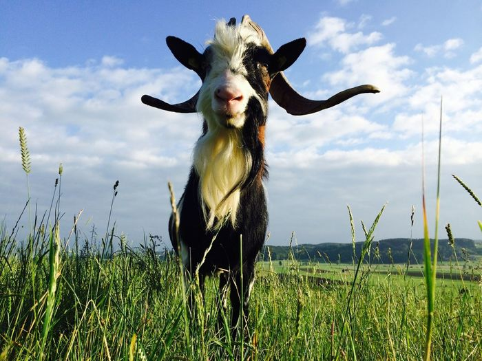 Biilly Goat in Germany Goat Billy Goat Low Angle View Ziege Ziegenbock Bavaria GERMANY🇩🇪DEUTSCHERLAND@ Animal Themes Animal Mammal One Animal Plant Field Grass Domestic Animals Land Livestock Landscape Nature No People
