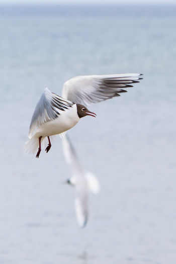 Black-headed gull flying over sea