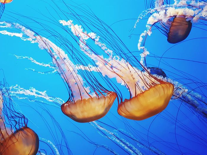 Underwater Jellyfish Sea Life Water UnderSea Swimming Blue Tentacle Animal Wildlife No People Animals In The Wild Aquarium Sea Nature Animal Themes Close-up This Week On Eye Em Day Monterey Bay Monterey Fish Wildlife Ocean Sealife Background