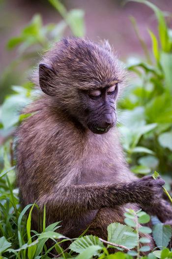Animal Baboon Mammal Olive Baboon Wildlife