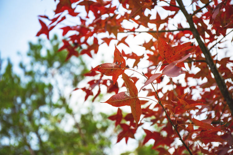 Low angle view of red leaves on tree